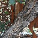 Scrub Oak or Shrub Live Oak