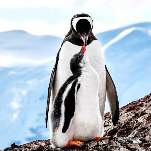 Gentoo-penguins.jpg -