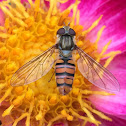 Marmalade hoverfly (female)
