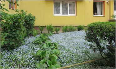 Photo: Nu-mă-uita (Myosotis) - din Turda, Str. Rapsodiei, Nr.8-10 - spatiu verde - 2018.04.26