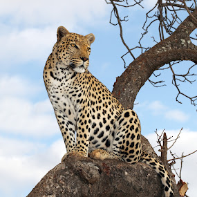 male leopard in tree by Sue Green - Animals Lions, Tigers & Big Cats ( endangered species, south africa safari, leopard on lookout from tree, spotted cat, leopard profile, endagered species#, male leopard in tree, leopard face, superb male, leopard isolated, panthera pardus, leopard pose,  )