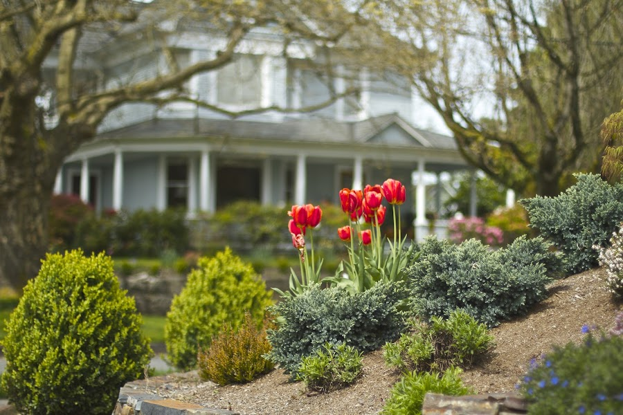 Tulips Upstage Grand Old House by Lydia Bishop - City,  Street & Park  Street Scenes ( red, green, snohomish, house, tulips )