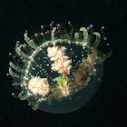 Cigar Jellyfish
