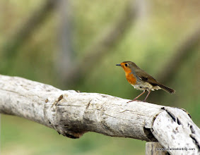 Photo: European Robin (Pettirosso), Vendicari Wetlands, south of Avola