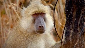 Zambia's Peaceful Primates thumbnail