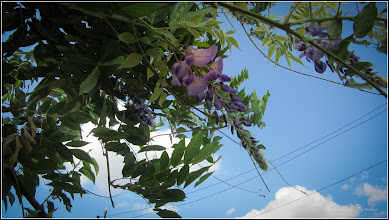 Photo: Glicina (Wisteria sinensis) - de pe Str. Aurel Vlaicu - 2017.09.10