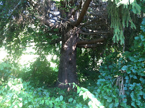 Photo: Large tree near Module Building. This will become a Faery Grove.