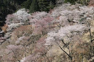 奥千本の桜1