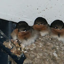 Welcome Swallow (fledglings)