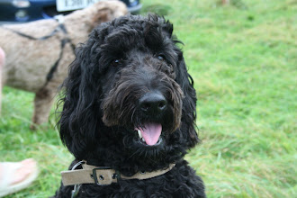 Photo: Ralph Labradoodle looking into his bright future?!