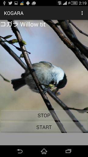 鳥鳴き声ミソサザイ