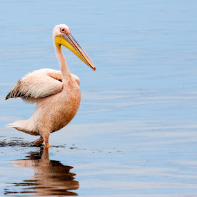 White Pelican by Ada Louw - Animals Other