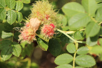 Photo: We saw this strange moss-like stuff around several rosehips.