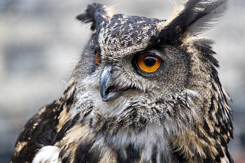 Owl by Kellee Wright - Animals Birds ( bird of prey, nature, owl, birds, animal,  )