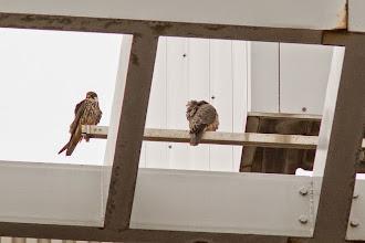 Photo: Het vrouwtje en de jonge Boomvalk op het dak. Het mannetje zat een paar meter naar links. Gezellig hè?