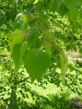 Photo: Hojas de abedul (género Betula)