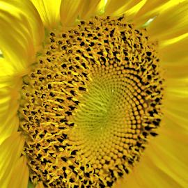 Sunflower by Teresa Wooles - Flowers Single Flower ( yellow flower, sunflower,  )