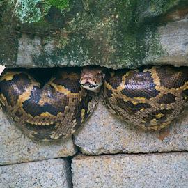 Snake World - 4 by Vijayanand Kandasamy - Animals Reptiles ( reptiles, snake, snake face, reptile, snakes,  )