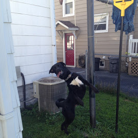 by Art Tilts - Animals - Dogs Playing ( standing, dancing, black dog, pole, dog,  )