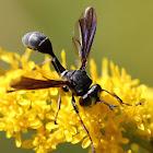 conopid fly