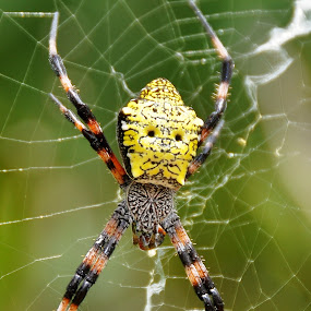Hawaiian garden spider by John Canning - Animals Insects & Spiders