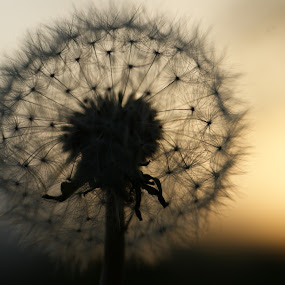 Dandelion by Peter Janssen - Flowers Flowers in the Wild ( nature, dandelion, sunset, flower )