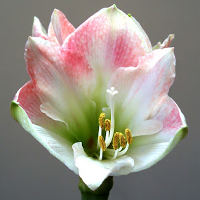 Awesome Amaryllis 5 by RMC Rochester - Flowers Single Flower ( abstract, macro, nature, colors, random, flower,  )
