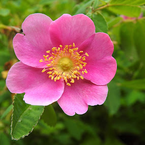 Wild Rose by Carol Leynard - Flowers Flowers in the Wild ( pink, rose, rose bush, wild rose, flower,  )