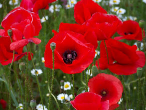 Photo: Papaver rhoeas