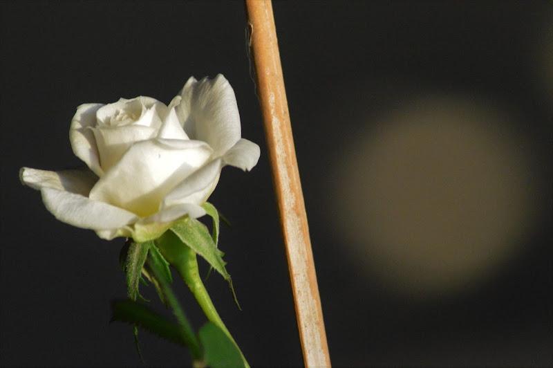 rosellina bianca di Tiz