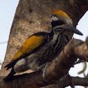 White-naped Woodpecker(Female)