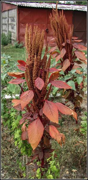 Photo: Planta fantana (Amaranthus cruentus) - Str. Baladei - 2013.08.25 -   http://ana-maria-catalina.blogspot.ro/2016/07/motul-curcanului-amaranthus-caudatus.html