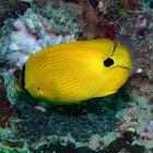 Andaman butterflyfish