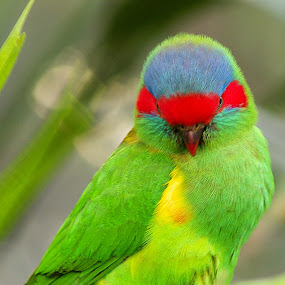 Exotic green and red bird by Emily Fnm3d - Animals Birds ( copy space, pair, wildlife, birds, feather, multi colored, looking, nature, color image, wild animals, pets, friendship, lovely, couple, exoticism, animal, isolated, endangered species, purple, whispering, green, white background, beauty in nature, domestic animals, rear end, bird, red, blue, contrasts, beak, zoology, animals and pets )
