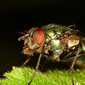 green bottle fly by Marko Lengar - Animals Insects & Spiders ( fly, lucilia, bug, insect, sericata,  )