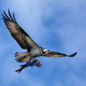 Osprey Over Delaney Swamp by Peter Christoph - Animals Birds