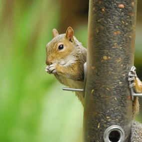 by Jazmyne Kelly - Animals Other ( food, eating, squirrel, animal )