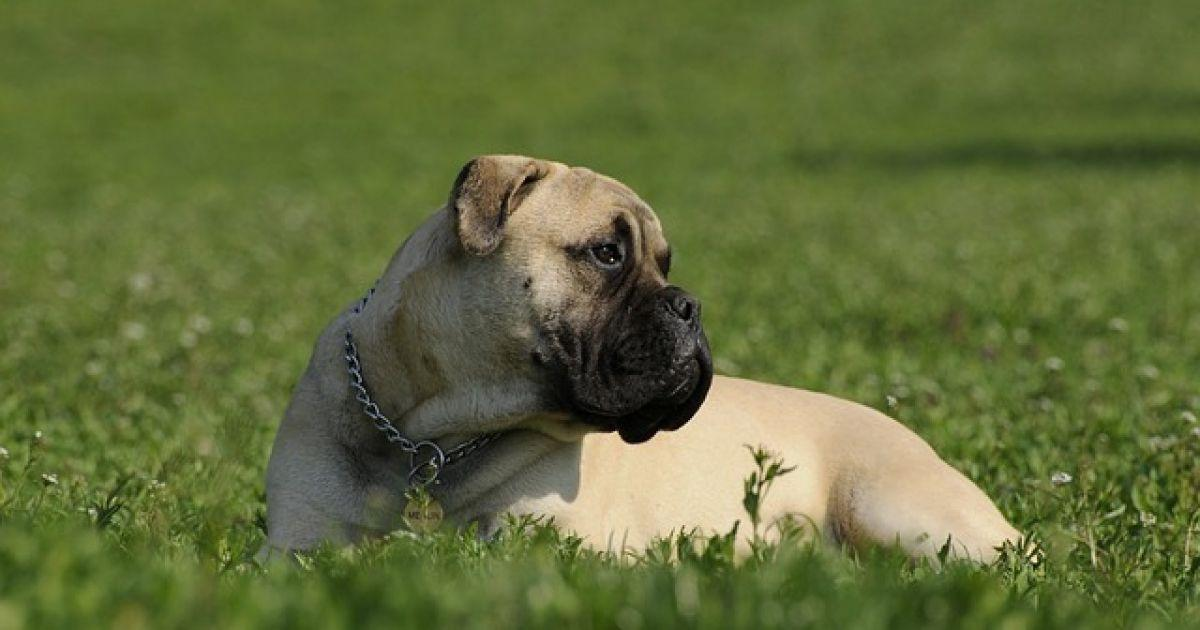 Bullmastiff Dog Breed Information