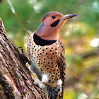 Northern Yellow Shafted Flicker