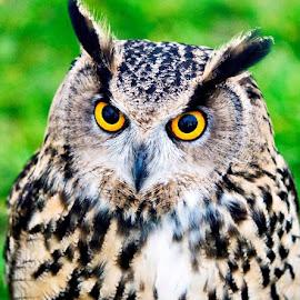 Those stunning eyes  by Mark  Harris - Animals Birds