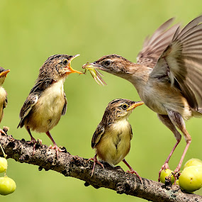 by Bernard Tjandra - Animals Birds