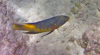 Photo: Spanish Hogfish.