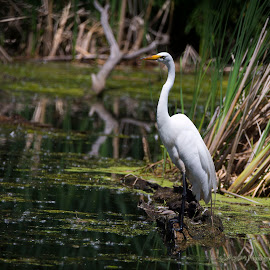 Egret by Scott Pietig - Uncategorized All Uncategorized ( minneapolis, egret, egret close )