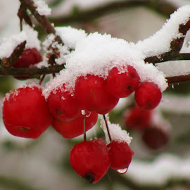 snow berry by Frank Gray - Nature Up Close Other plants