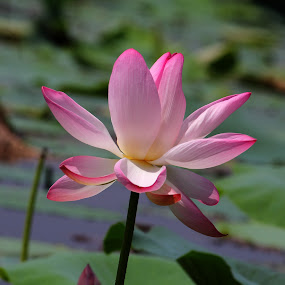 Lotus in Pond by Vijendra Parmar - Nature Up Close Flowers - 2011-2013 ( pond flower, lotus in pond, rajasthan, udaipur, pwcflowergarden-dq,  )