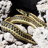 Mexican Garter Snake
