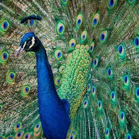 Plumage by Christopher Pischel - Animals Birds ( bird, zoo, peacock )
