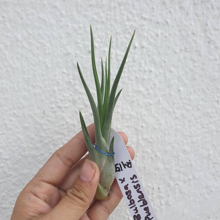 Tillandsia Bulbosa x Pueblensis