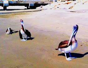 Photo: Pelicans up close.  Los Organos.