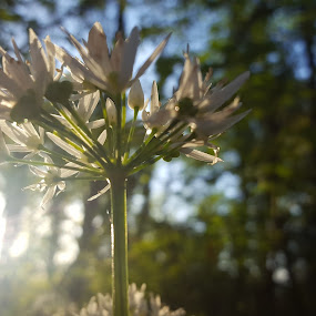 Wild garlic by Nick Hogg - Flowers Flowers in the Wild ( garlic, sunlight, macro photography, wild flower, flower )